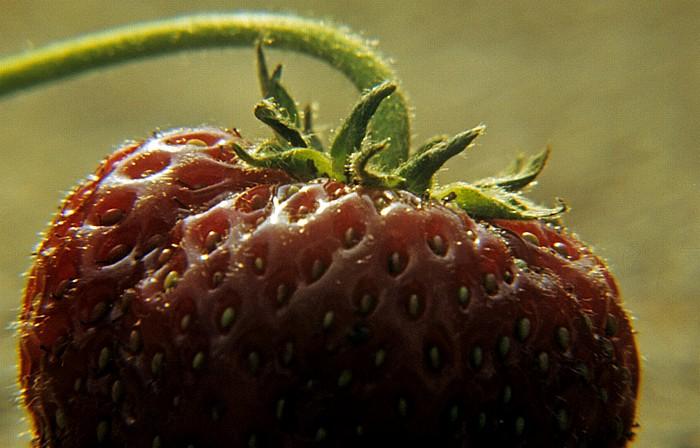 Pfohren Erdbeere Neudinger Weg