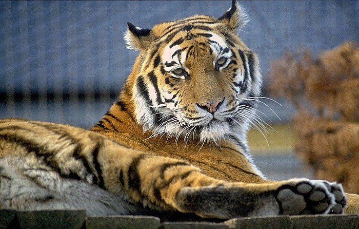 Tiergarten Schönbrunn: Sibirischer Tiger Wien