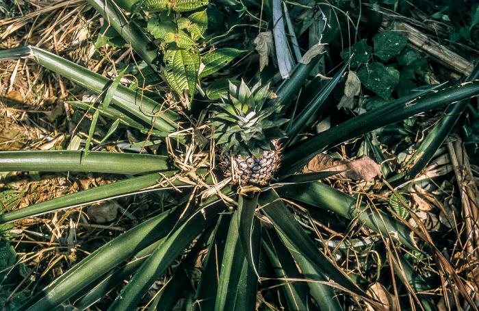 Bukit Lawang Leuser-Nationalpark: Ananasstaude