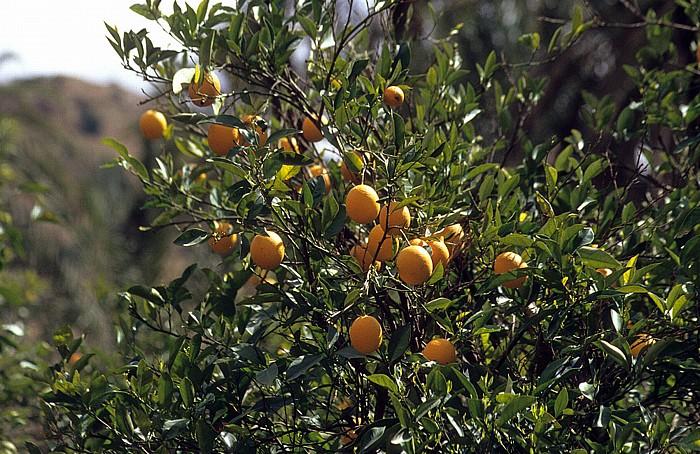 Tioute Orangenbaum