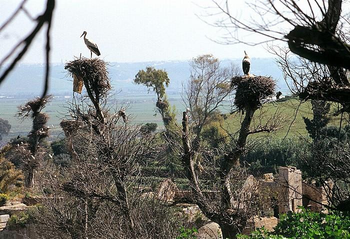 Rabat Chellah: Storchennester