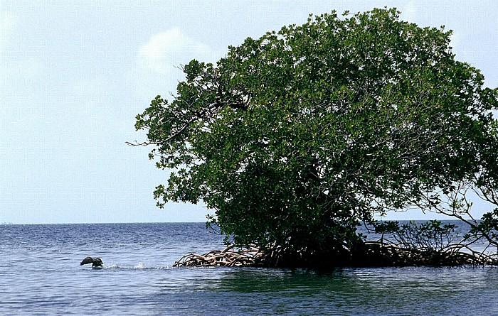 Belize Barrier Reef Mangroven