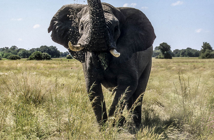Okavango-Delta Elefant