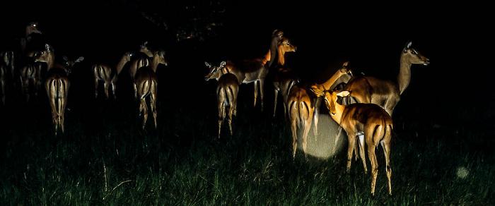 Okavango-Delta Impalas