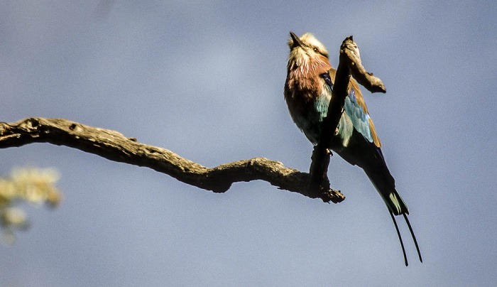 Okavango-Delta Gabelracke (Coracias caudata / Lilac-breasted Roller)