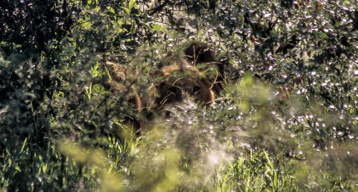 Okavango-Delta Löwe