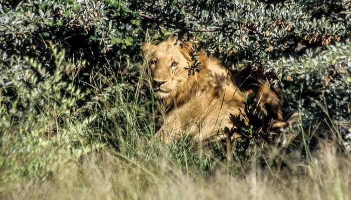 Okavango-Delta Löwen