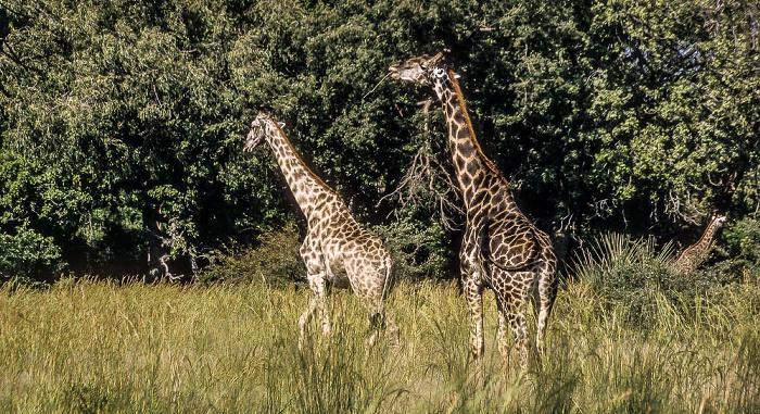 Okavango-Delta Giraffen