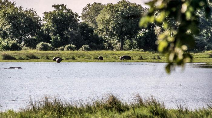Kwara Flusspferde