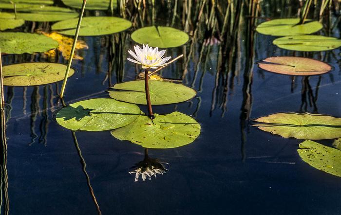 Okavango-Delta Wasserlilie