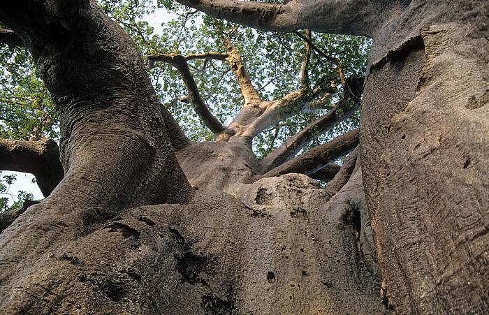 Gweta Planet Baobab Camping: Affenbrotbaum (Baobab)