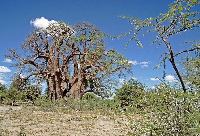 Makgadikgadi-Pfannen Chapman's Baobab (Affenbrotbaum)