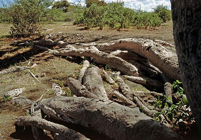 Makgadikgadi-Pfannen Wurzelwerk von Chapman's Baobab (Affenbrotbaum)