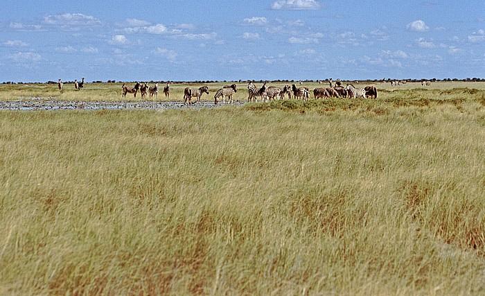Makgadikgadi-Pfannen Zebras
