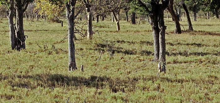 Makgadikgadi-Pfannen Erdmännchen