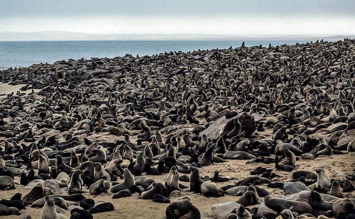 Cape Cross Zwergpelzrobben Robbenkolonie