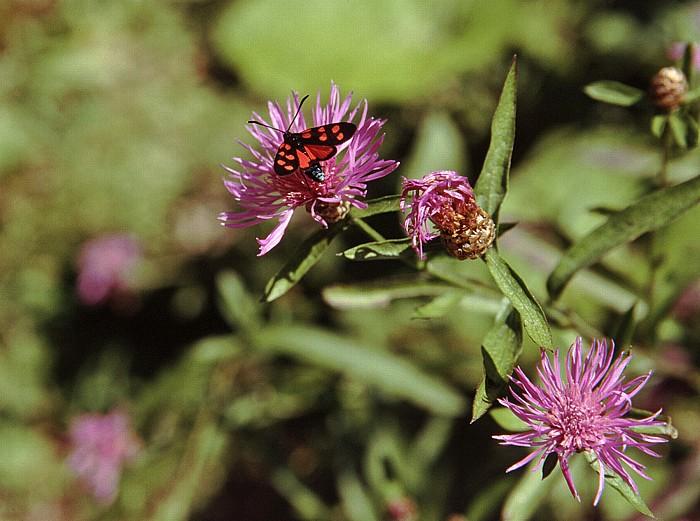 Trenta Alpinum Juliana: Schmetterling auf Bergscharte