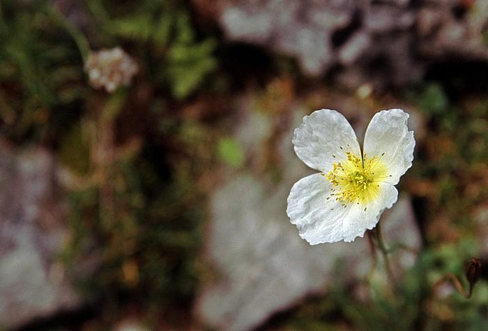 Trenta Alpinum Juliana: Julischer Alpenmohn