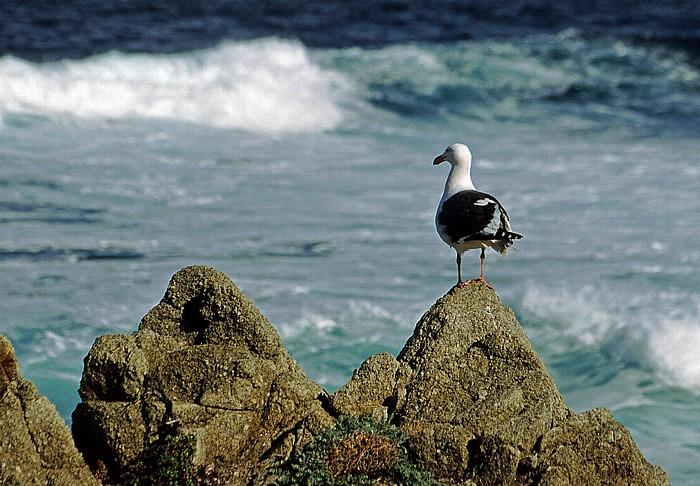 17-Mile Drive: Möwe Monterey Peninsula