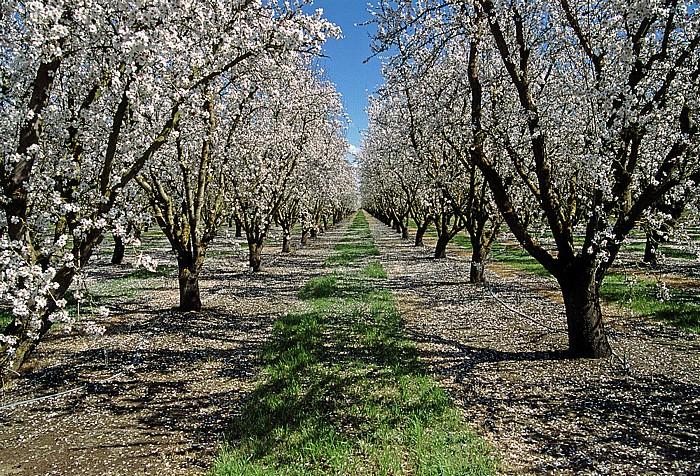 Kalifornien Mandel-Bäume