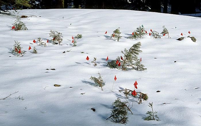 Sequoia National Park Giant Forest: Riesenmammutbäume-Nachwuchs