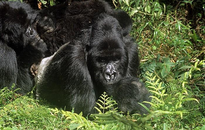 Virunga-Vulkane Berggorillas
