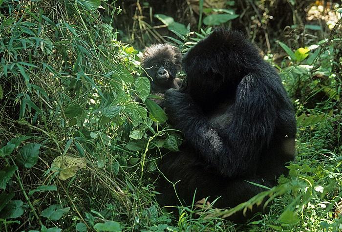 Virunga-Vulkane Berggorillas: Mutter mit Kind
