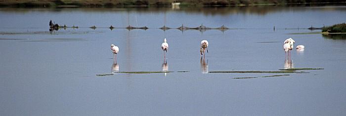 Stagno di Santa Gilla Flamingos