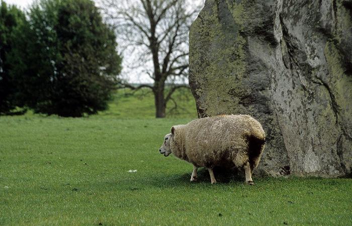 Avebury Megalithstein und Schaf