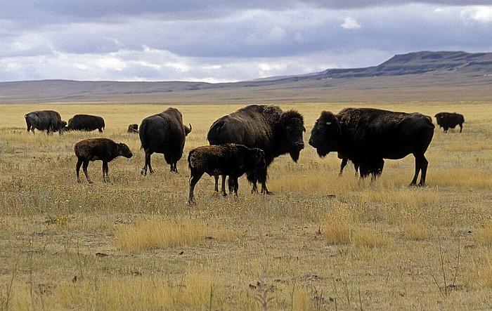 Fort Macleod Büffelherde (Amerikanischer Bison, Bos bison)