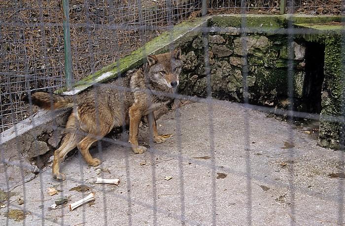 Rezerve Natyrore e Menaxhuar Tiergarten: Wolf