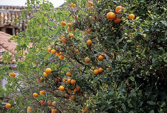 Dubrovnik Altstadt: Blick von der Stadtmauer: Orangenbaum