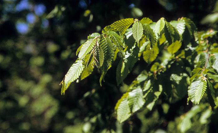Nationalpark Hainich: Hainbuche (Carpinus betulus, auch Weißbuche oder Hagebuche)