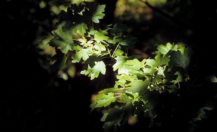 Nationalpark Hainich: Feld-Ahorn (Acer campestre, auch Maßholder)