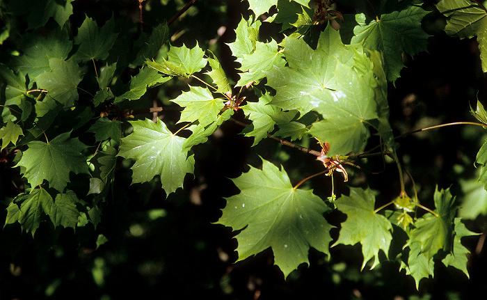 Nationalpark Hainich: Spitz-Ahorn (Acer platanoides, auch Spitzblättriger Ahorn)