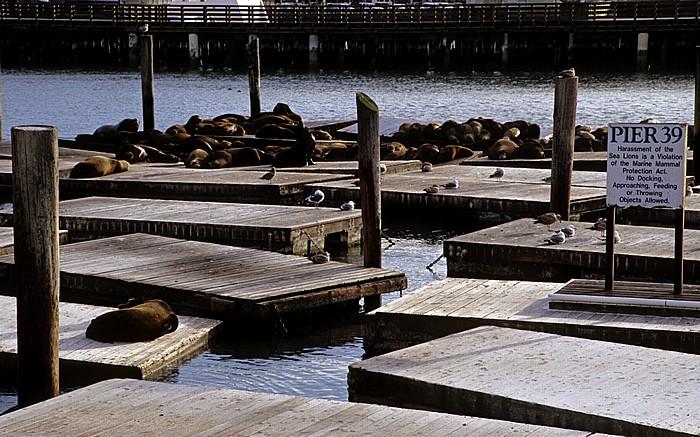 San Francisco Pier 39: Seelöwenkolonie