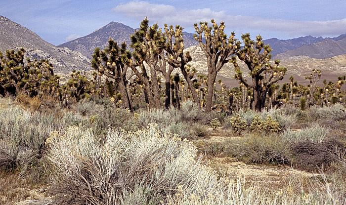 Kern County Josua-Palmlilie (Josuabaum, Yucca brevifolia, Joshua Tree)