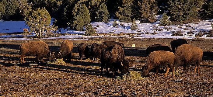 Kane County Büffelherde (Amerikanischer Bison, Bos bison)