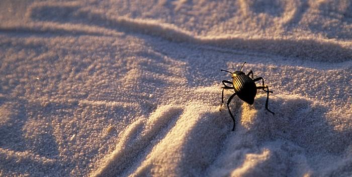 Sanddünen: Käfer White Sands National Monument
