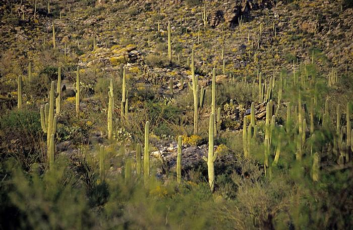 Rincon Mountain District: Kandelaberkakteen (Carnegiea gigantea, Saguaro) Saguaro National Park