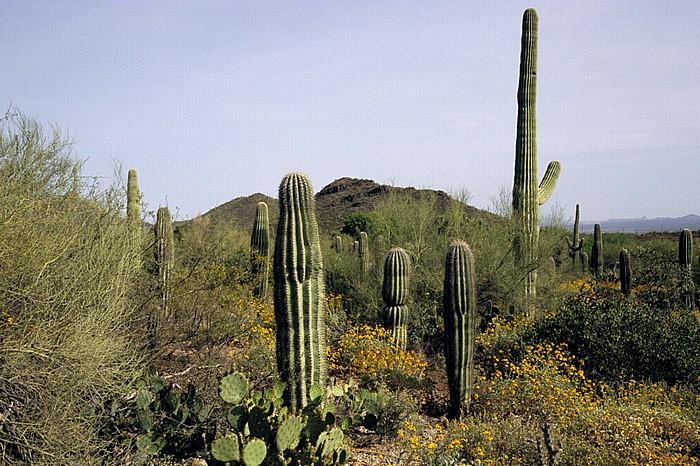 Tucson Mountains District: Kandelaberkakteen (Carnegiea gigantea, Saguaro) Saguaro National Park