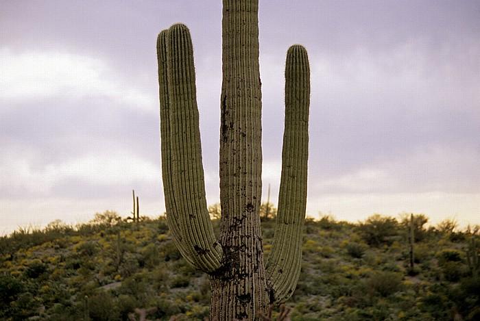 Rincon Mountain District: Kandelaberkaktus (Carnegiea gigantea, Saguaro) Saguaro National Park