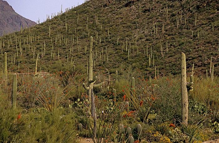 Tucson Arizona-Sonora Desert Museum: Kandelaberkakteen (Carnegiea gigantea, Saguaro)