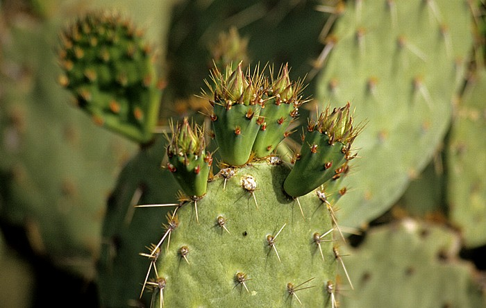 Tucson Arizona-Sonora Desert Museum: Kaktus