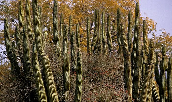 Tucson Arizona-Sonora Desert Museum: Kakteen