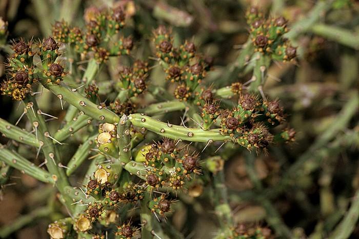 Tucson Arizona-Sonora Desert Museum: Kaktusblüten