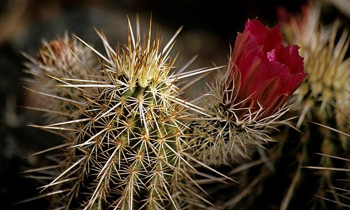Tucson Arizona-Sonora Desert Museum: Kaktusblüte