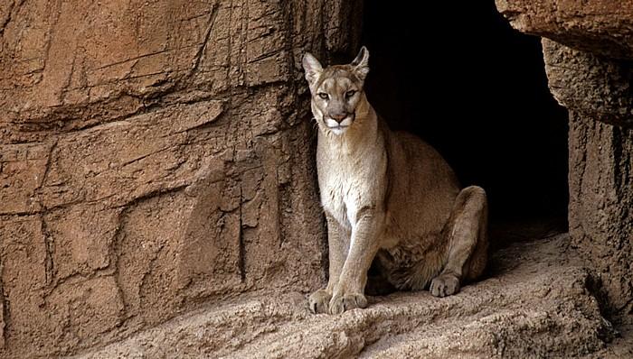 Tucson Arizona-Sonora Desert Museum: Puma (Puma concolor)