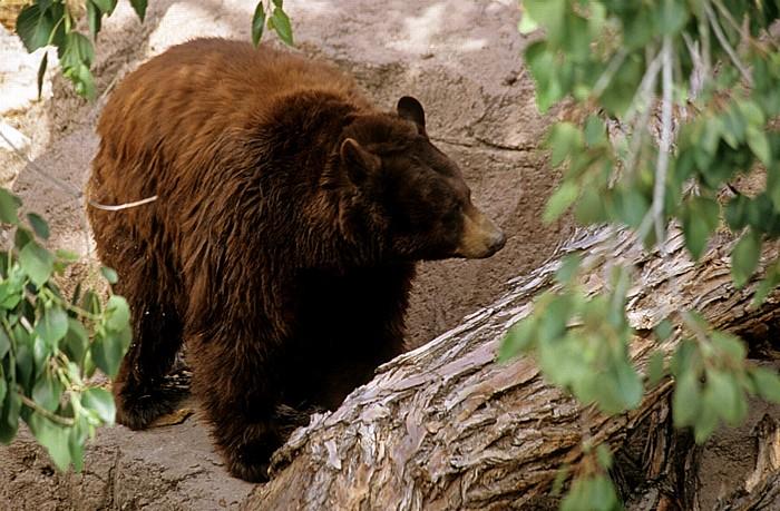 Tucson Arizona-Sonora Desert Museum: Amerikanische Schwarzbär (Ursus americanus)