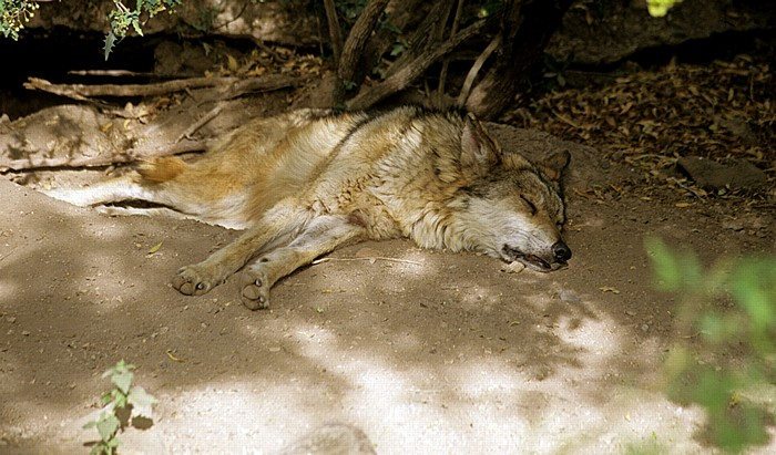Tucson Arizona-Sonora Desert Museum: Schlafender Kojote (Canis latrans, Coyote)